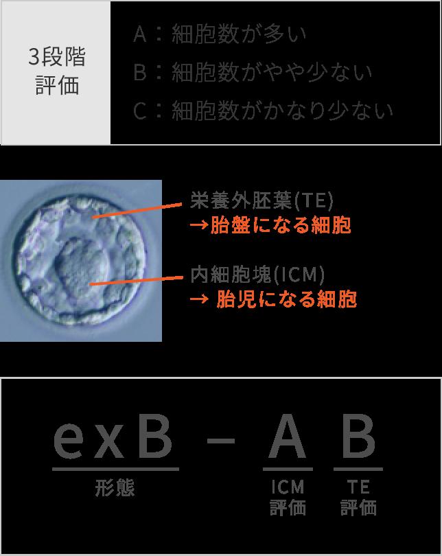 内細胞塊と栄養外胚葉の2つをそれぞれABC(Aが一番良い)の3段階評価で行います
