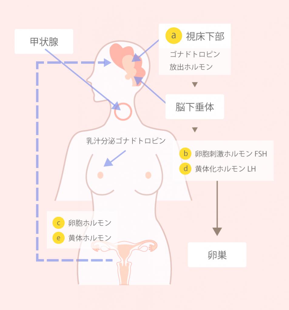 「ホルモンの働き」と「排卵」「基礎体温との関係」について